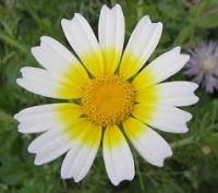 Chrysanthenum Coronarium L
